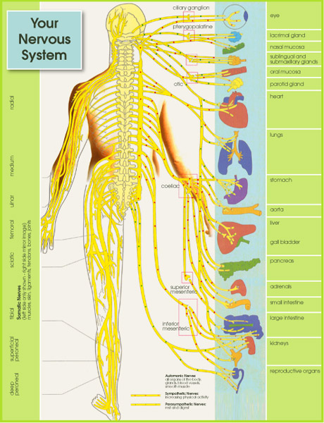 Your nervous system, chriopractors spine wellness